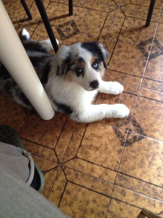 Puppy - Blues the australian sheperd