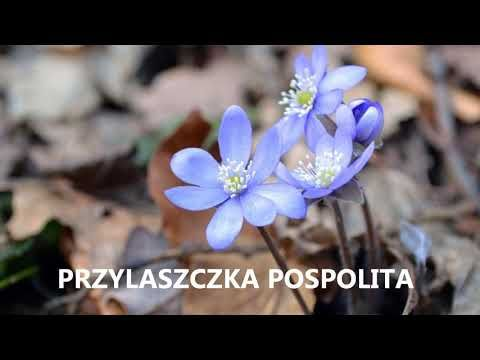 Kwiaty Wiosenne Cz 1 Nazwy Wczesnych Kwiatow Poradnik Ogrodowy 20 Youtube Flowers Floral Rings Floral