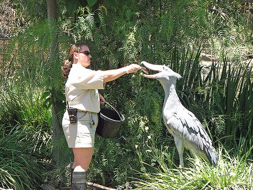 The shoebill, also called a shoe-billed stork or whale ...