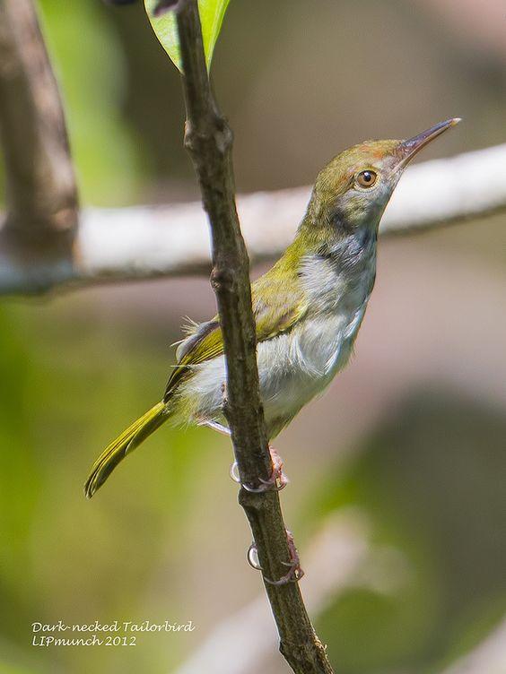Dark-necked Tailorbird | by Chong Lip Mun