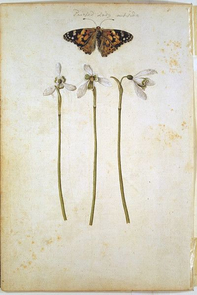 A Common Mallow and a Damselfly; Snowdrops with a Lady Butterfly   Le Moyne de Morgues, Jacques   Victoria & Albert Museum