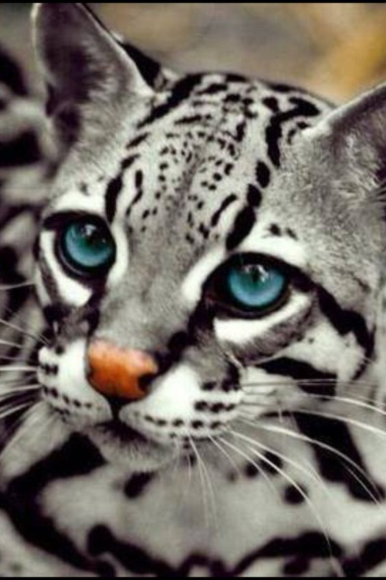 FAKE. Photoshoped. Ocelots are not grey.