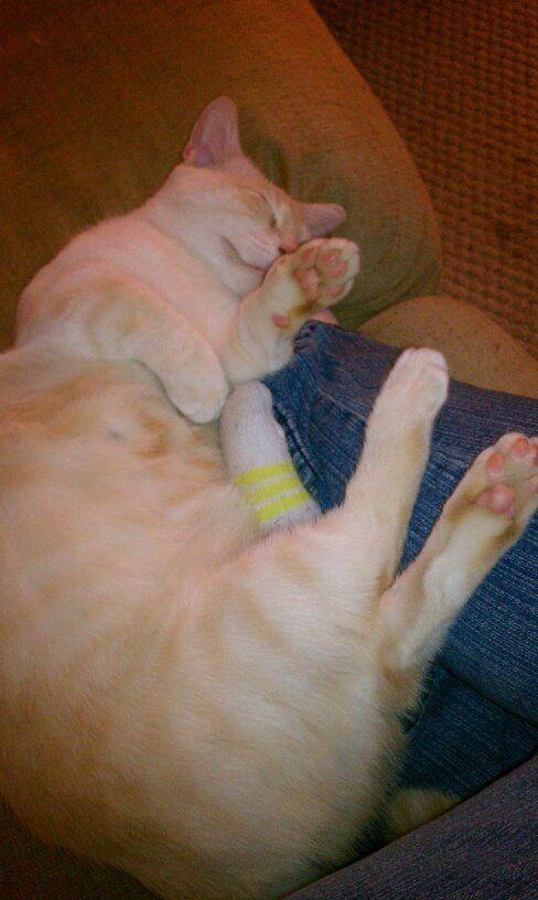 My munchkin cat - Ace