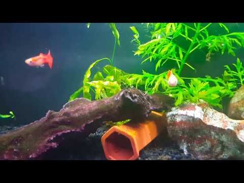 Breeding And Care Of Guppies Youtube Guppy Breeds Care
