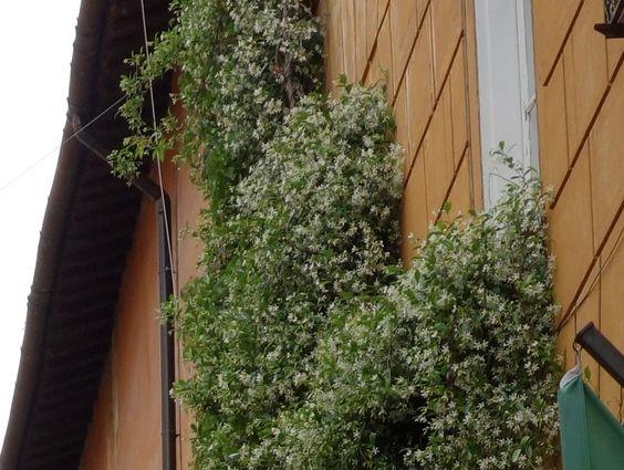 Duftende slyngplante med små hvide blomster i rom = stjernejasmin ...