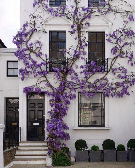 fehér színű ház lila akácvirággal