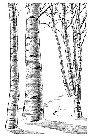 Birch Tree Leaf Template Sketch Coloring Page