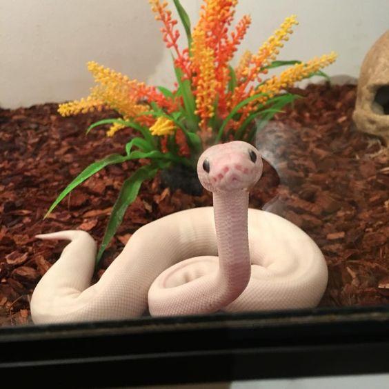 ウーパールーパー似のヘビ