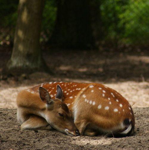 Beautiful sleeping fawn.