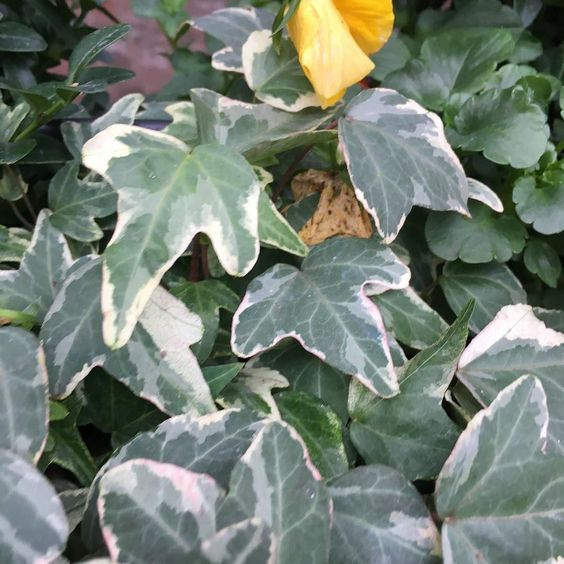 The holly and the ivy without the ivy #ivy #plant