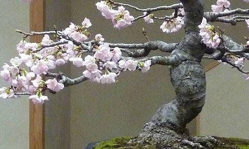 Bonsai Bomen Kweken Vormen En Verzorgen Bonsai Empire In 2020 Kersenbloesem Bonsai Bonsai Bomen