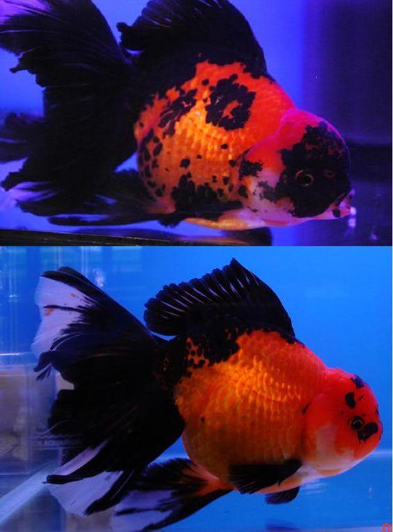 red & black orandas