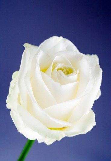 rose blanche sa signification dans le langage des fleurs le langage des fleurs toute la. Black Bedroom Furniture Sets. Home Design Ideas