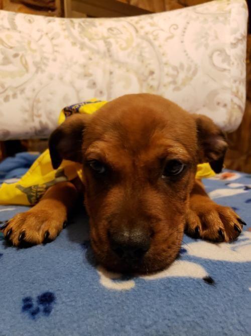 Adopt Manny On With Images Dog Adoption Dog Pounds Labrador Retriever