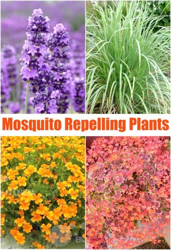 Love these ideas to naturally repel mosquitoes. Mosquito repelling plants.