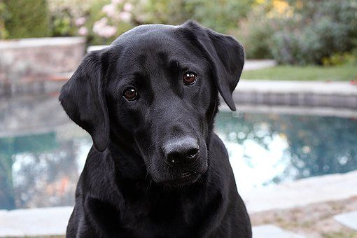 Temperament And Characteristics Labrador Retriever Black