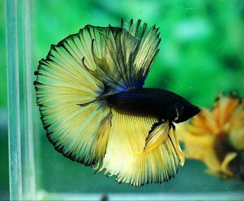 halfmoon betta, yellow and black | Betta (Fighting fish ...