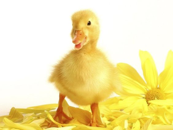 Cute duck chick