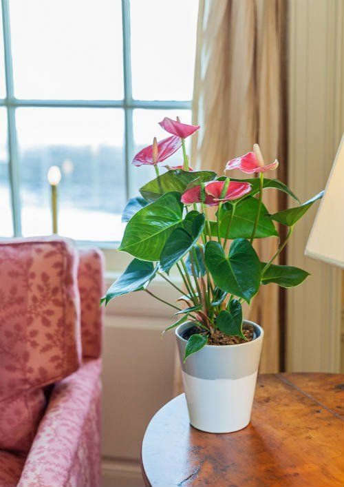 Anthurium Plant Tips What To Do When Your Anthurium Loses Their Flowers Anthurium Plant Anthurium Plants