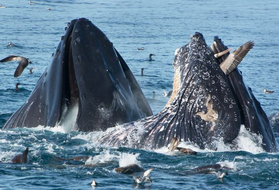 Pic 'o the Week: Pelican As Whale Snack? http://wp.me/pT2nB-xz  h/t @audubonsociety @BlueOceanWWatch