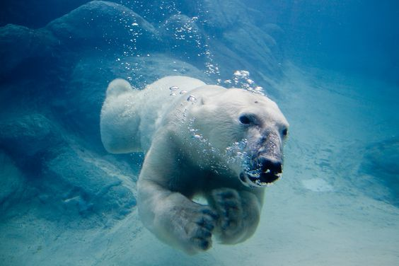 Google Image Result for http://electrictreehouse.com/wp-content/uploads/2011/07/Polar_bear_swimming.jpg