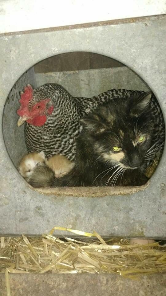 Cats & chicken