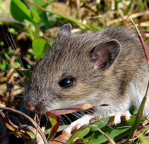 mouse - http://yourvibration.com/pix/2042/