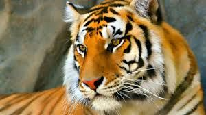 tiger images face - Google Search