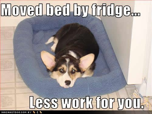 corgis are so thoughtful