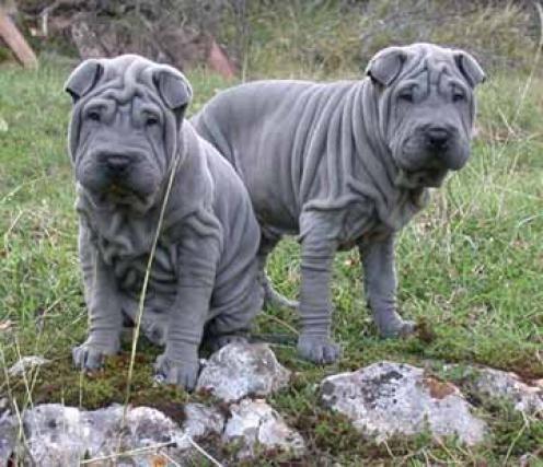Graue Shar Pei Hunde Graue Hunde Pei Shar Terrier Hund