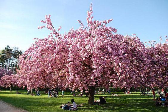 AVRIL : Hanami, fête des cerisier au son des tambours japonais (au parc de Sceaux)