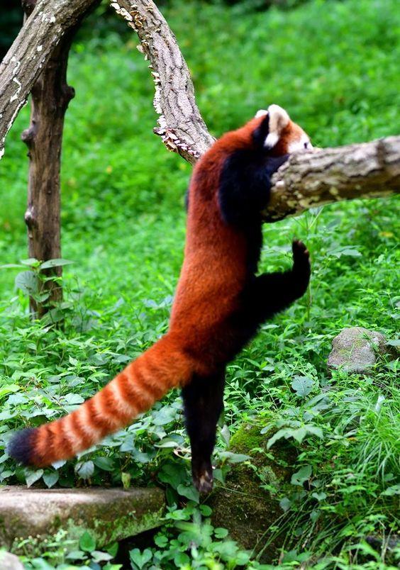 レッサーパンダ枝によじ登る姿