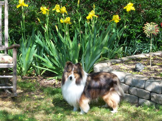 .....and this Sheltie loves posing!!