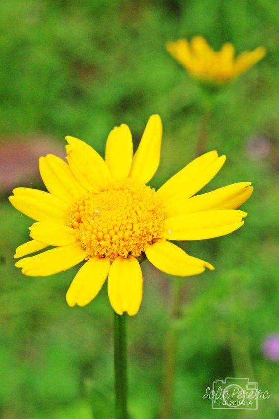 Malmequer . Bemequer . Amarelo . de Sofia Pereira.