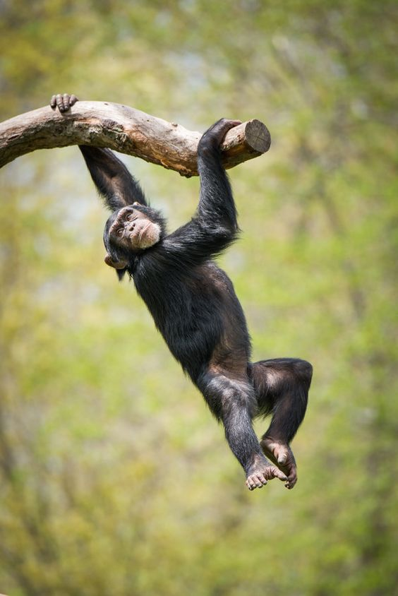 Swinging Chimp II by Abeselom Zerit on 500px