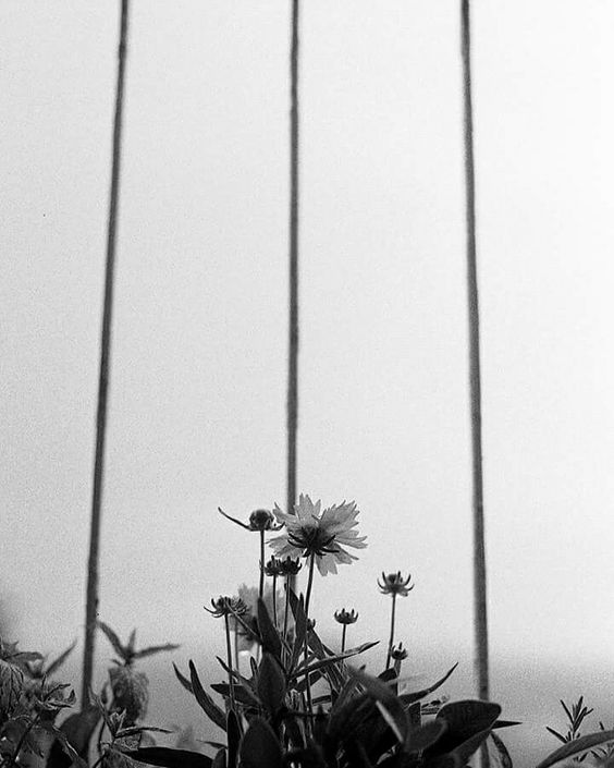 Marigolds. Ilford HP5. Film Photography