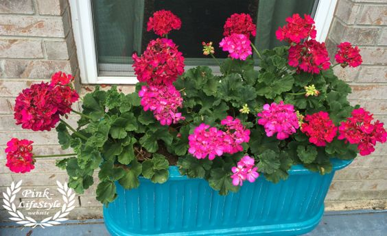 Geraniums love them they are easy to take care of even in the hot texas sun lady wiser - How to care for ivy geranium ...
