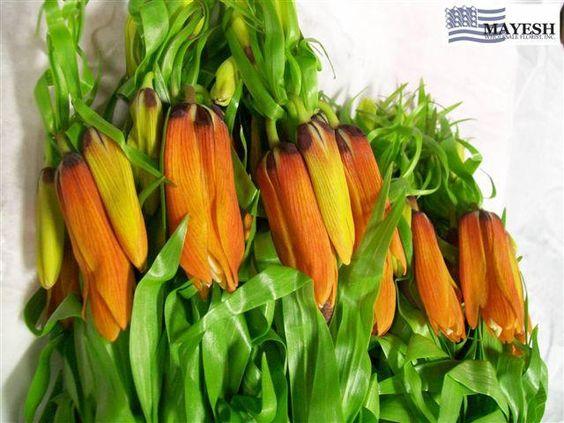 Fritilleria Imperial Orange