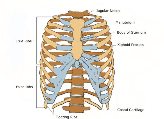 anterior view of a human thoracic cage. | A&P | Pinterest