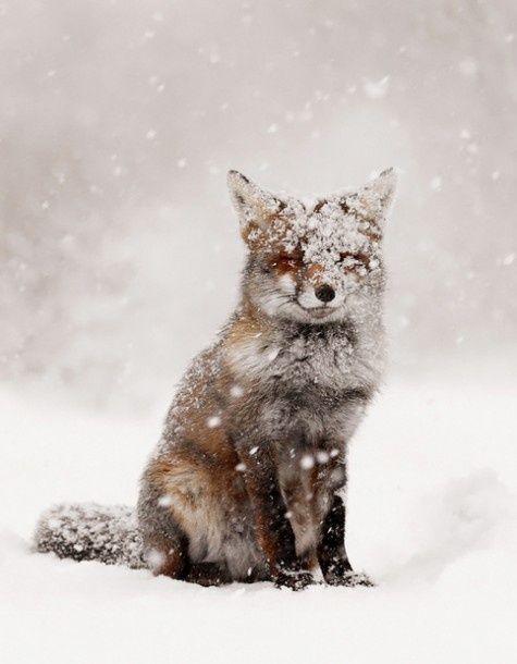 Fox in the snow #photography #wildlife