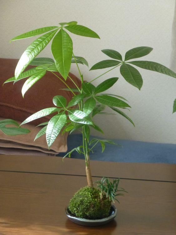 緑の苔玉 - パキラ