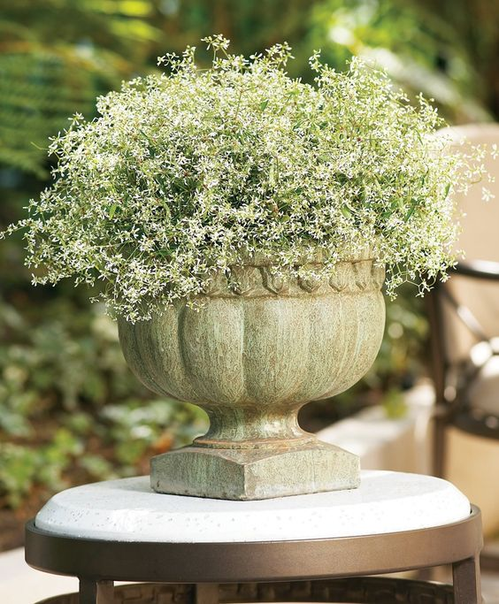 Diamond Frost is wonderful on its own, or in a mixed container where it can spread its tiny blooms throughout.