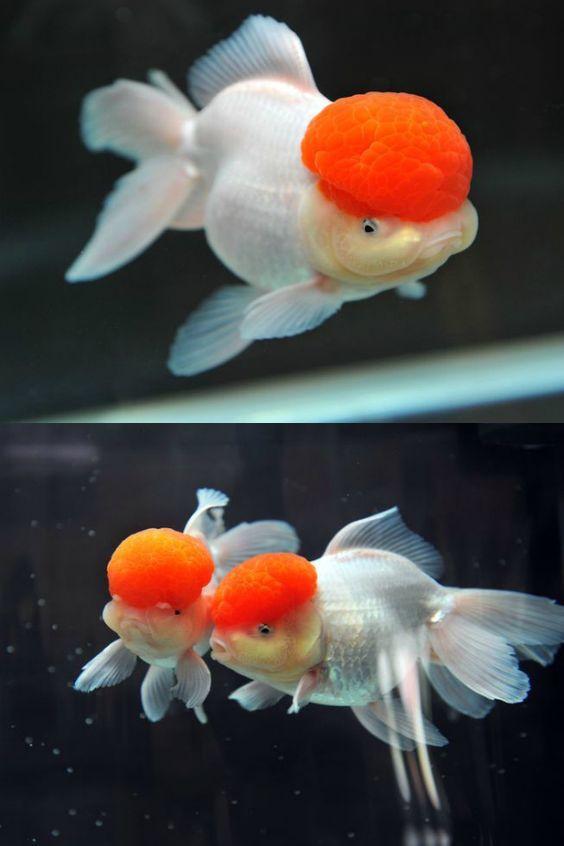 Pin By Miyancaoi On God S Amazing Sea Creatures Oranda Goldfish Pet Fish Goldfish Aquarium