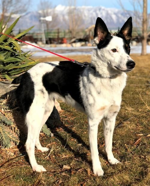 Dani Is An Adoptable Dog Cattle Dog Border Collie Mix