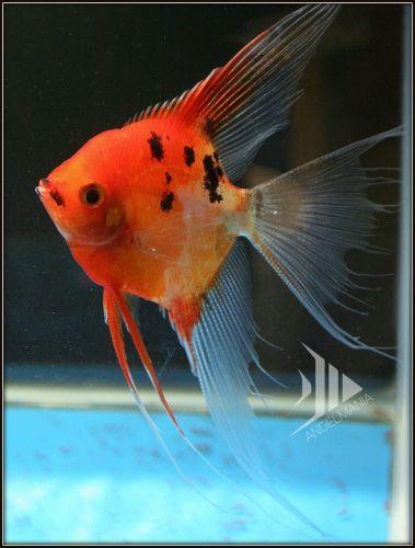 Ultimate coverage koi angelfish freshwater fish for Purple koi fish for sale