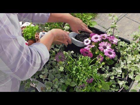 Stokrotki Afrykanskie Kwiaty Na Balkon I Taras Jak Sadzic I Dbac O Stokrotki Youtube Daisy Flower Flowers Daisy
