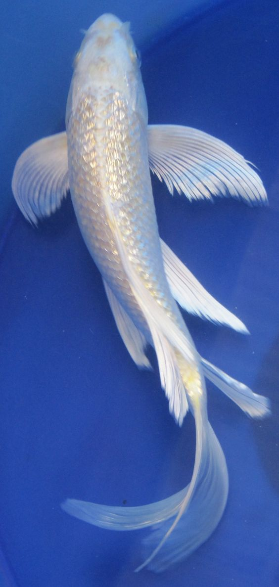 Butterfly ginrin yamabuki koi pets pinterest for Live dragon koi fish