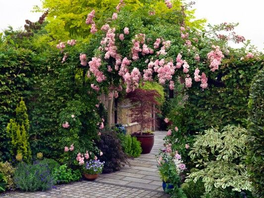 Evergreen climbers google search living shade for Evergreen climbing plants for privacy