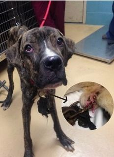 Reward offered: Who neglected pup found with embedded shackle in his neck? - National Dogs | Examiner.com