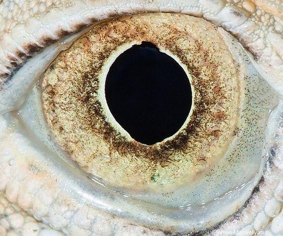 ojo Iguana